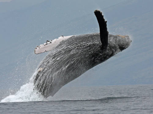 image of 40-foot-long humpback whale off the southwest coast of Maui