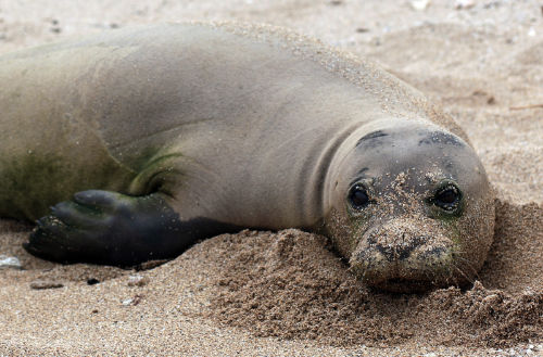 image of monk seal taking a rest of the shores of an island in Hawaii