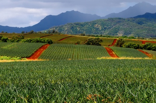 image of pineapple fields in Hawaii